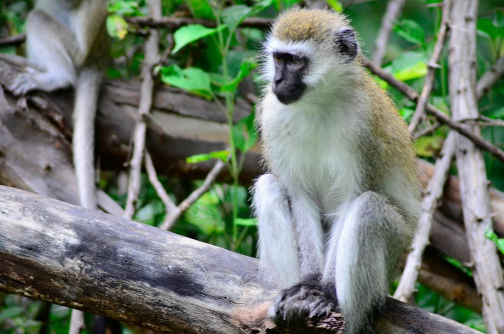 Habitantes de los bosques de Manyara. Por Laura