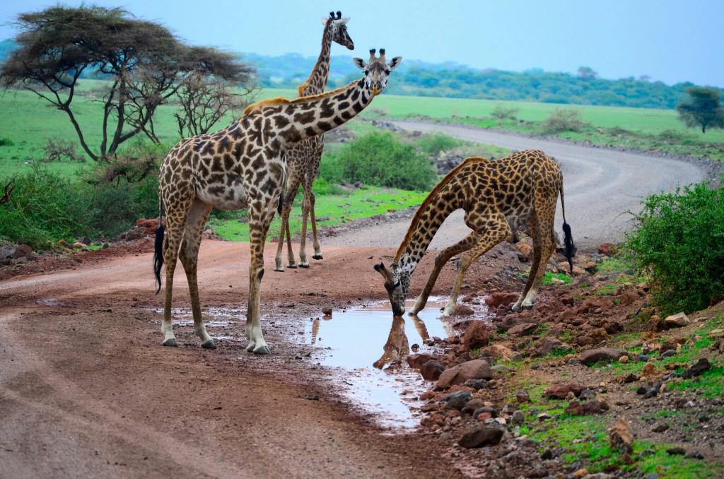 Las jirafas en el camino. Por Laura