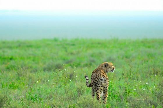 Guepardo en Serengeti. Por Laura