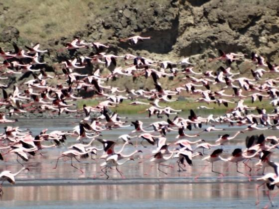 Flamencos en lago Natrón. Por Udare