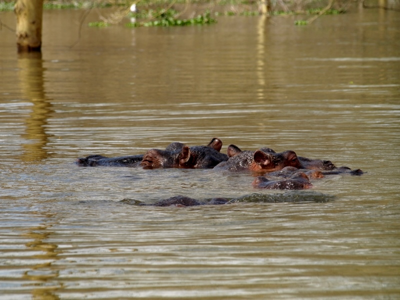 Hipopótamos en Lago Naivasha. Por Udare
