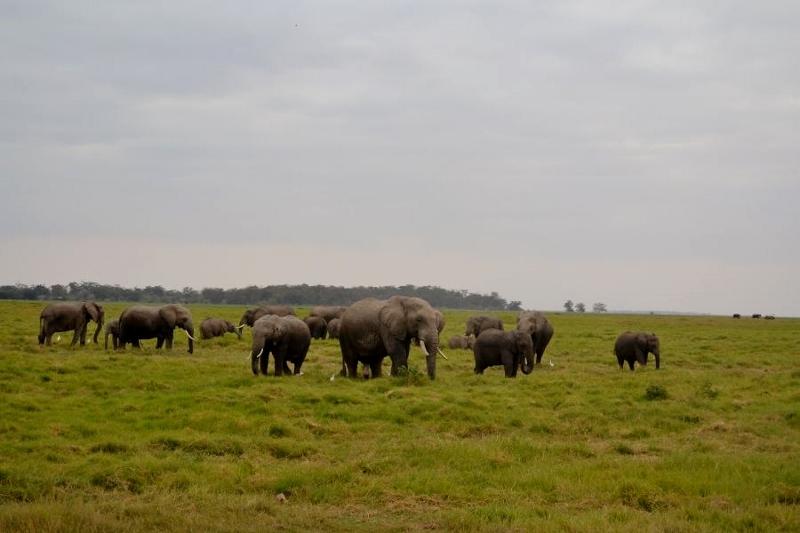 Grandes manadas de elefantes en Amboseli. Por Bea
