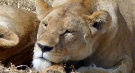 Leonas, las grandes depredadoras de Ngorongoro. Por María