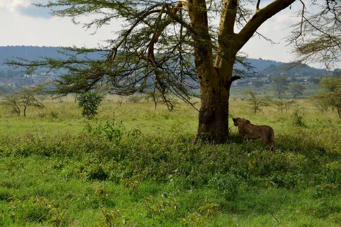 Leona en Nakuru. Por Bea