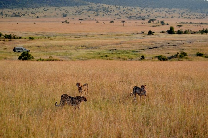 Guepardos en Masai Mara. Por Bea