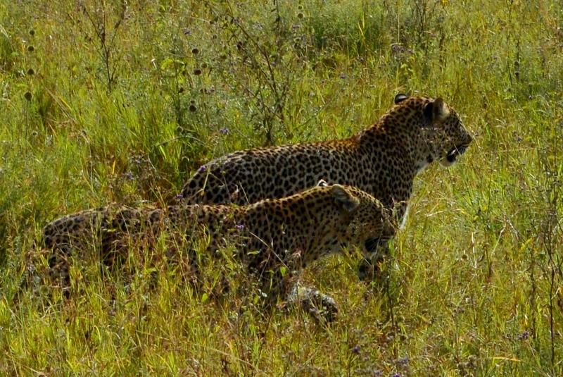 Gran fortuna poder ver dos leopardos con tanta proximidad. Por Sara