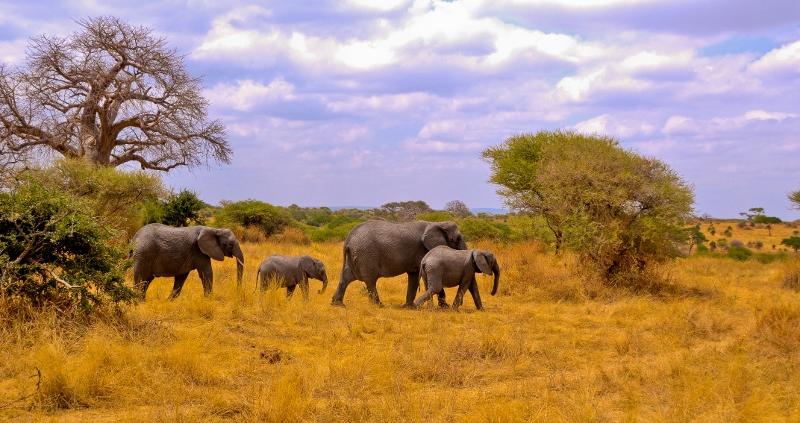 Elefantes y baobabs, en Tarangire. Por Jordi