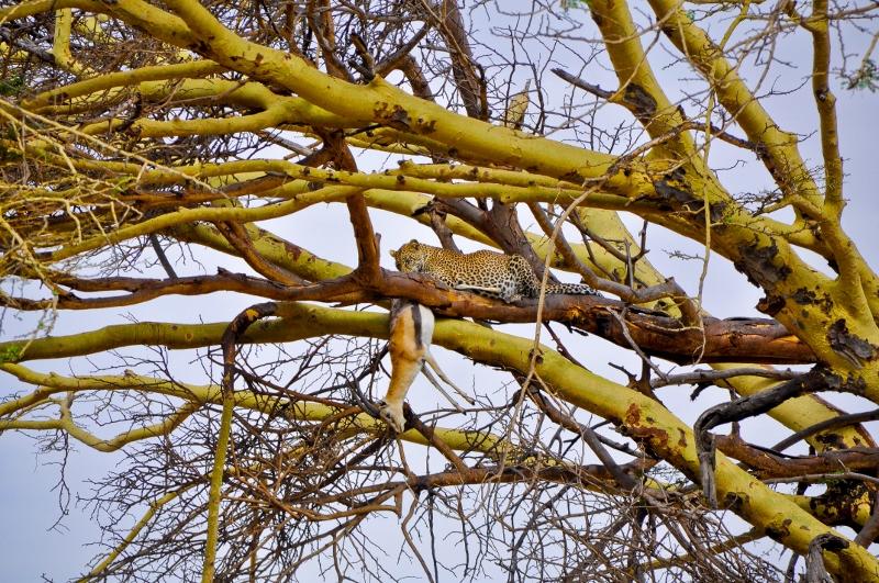 Leopardo con su presa. Por Paula