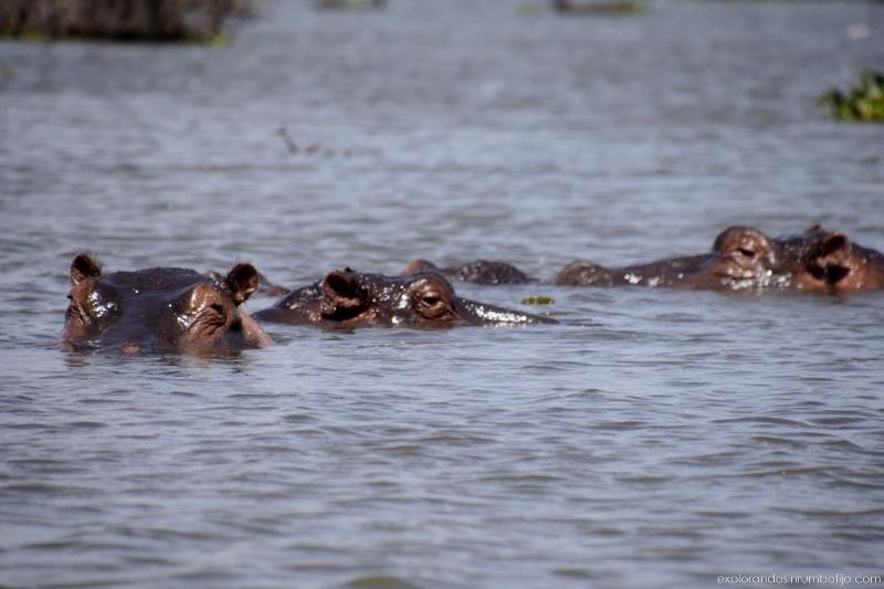 Hipopótamos en el lago Naivasha. Por Ed