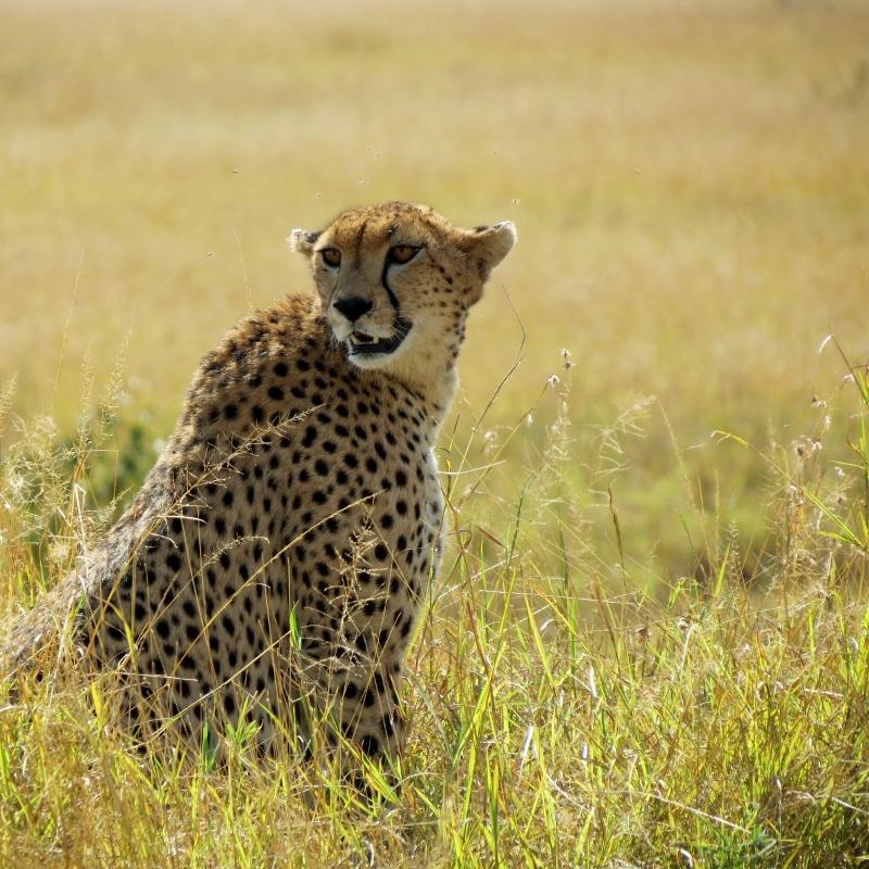 El guepardo, la figura esbelta. Por Charo