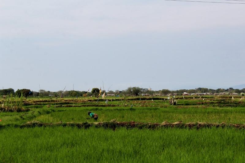 Arrozales en Mto Wa Mbu. Por Natalia