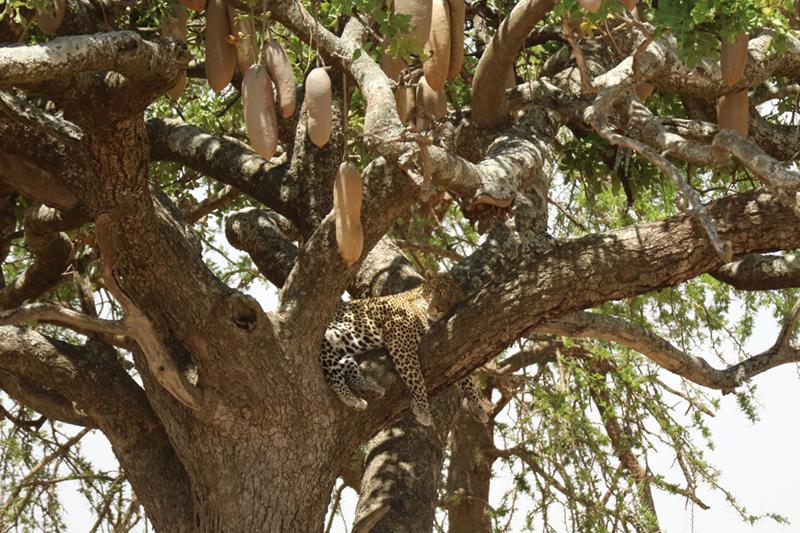 Leopardo descansado en la copa de un árbol salchichero. Por Toni