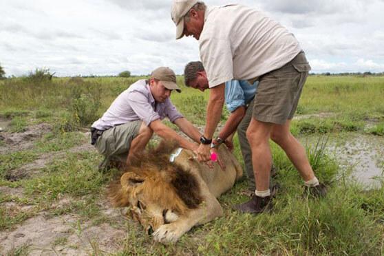 Estudiando a una leona con melena. Por Simon Dures