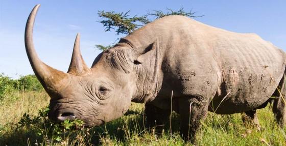 Rinoceronte. Tanzaniapark