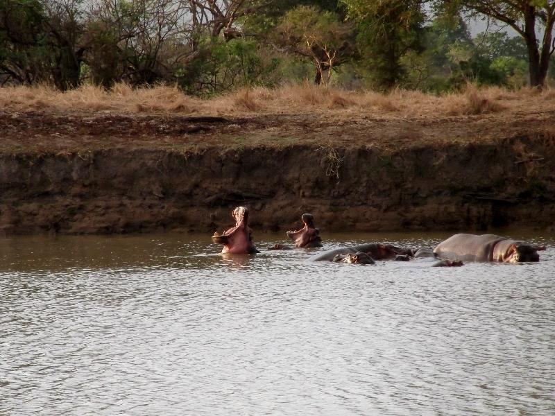 Hipopótamos en Ruaha. Por Angeles