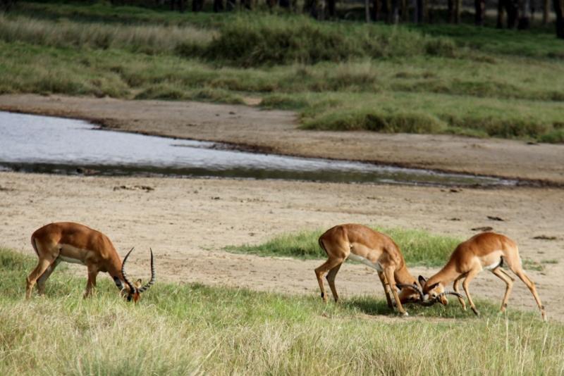 Impalas en Nakuru. Por Francisco