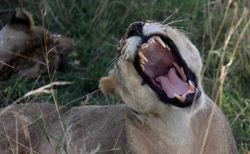 Las leonas, grandes depredadoras. Por Francisco