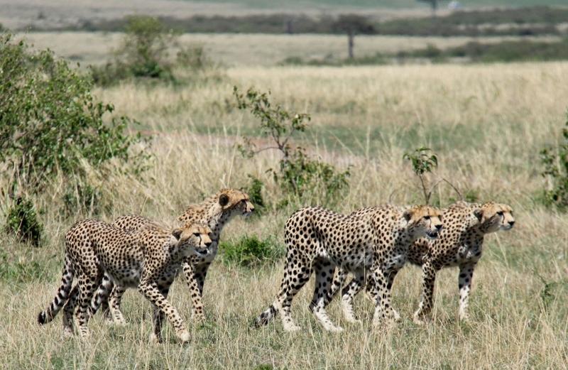 4 hermanos guepardos seleccionando la presa. Por Francisco