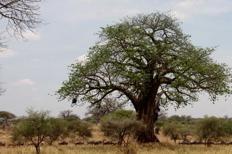 Baobab. Por Francisco