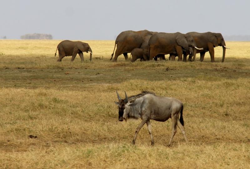 Los elefantes en Amboseli. Por Francisco
