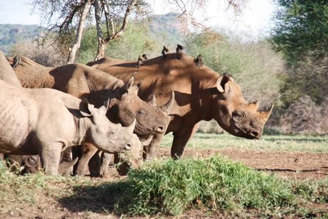 Rinocerontes en Mkomazi. Por tusker.org