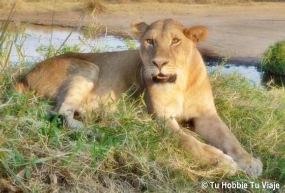 La leona descansando. Por María