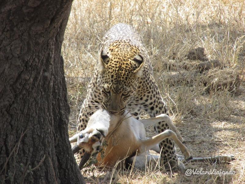 Leopardo cazando. Por Natalia