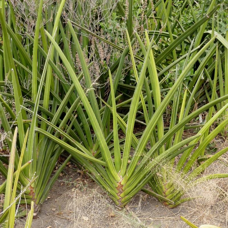 Sansevieria ehrenbergii, oldupai en lengua masai