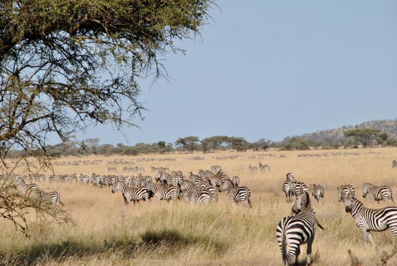 La migración en Serengeti. Por Gemma