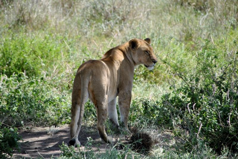 Leona en Serengeti. Por Gemma