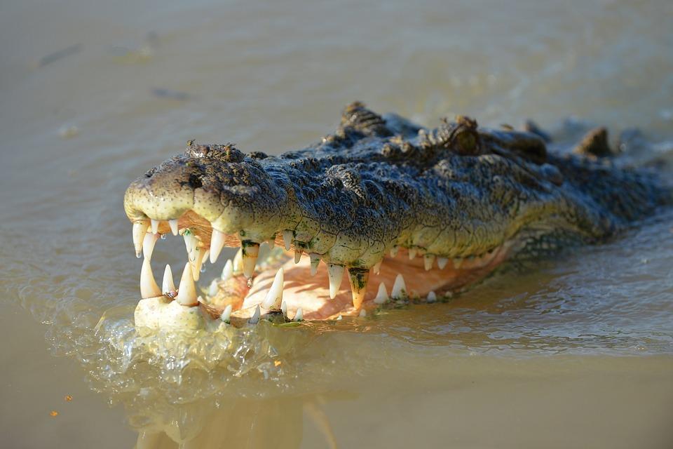 Mandíbula del cocodrilo