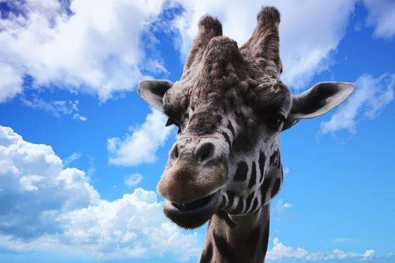 20 curiosidades de las jirafas