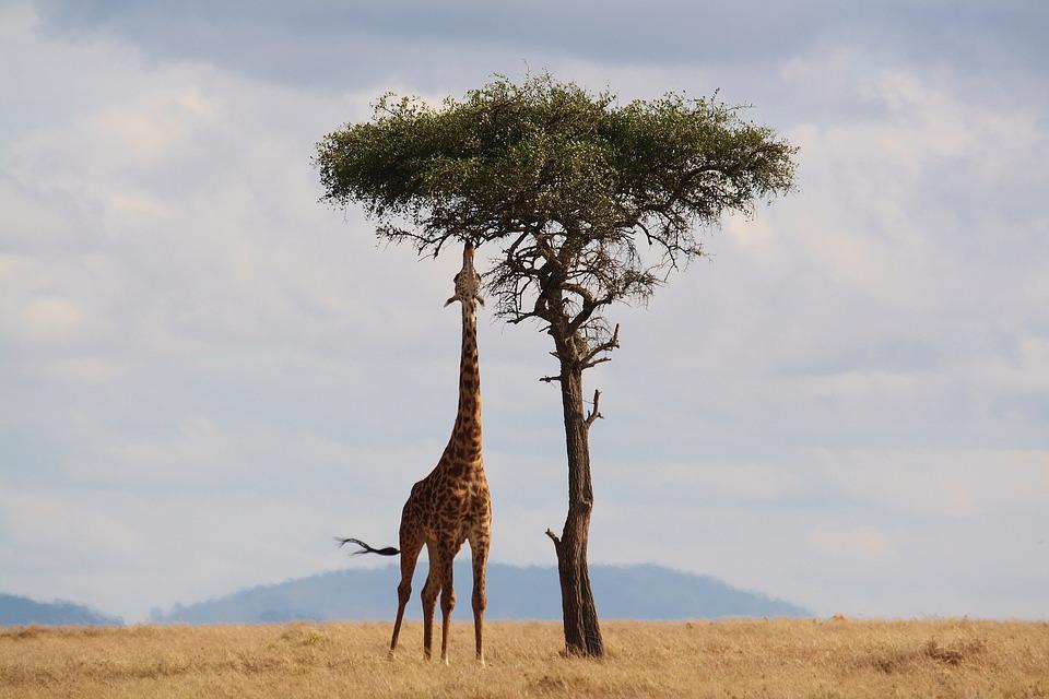 Jirafa alimentándose de una acacia