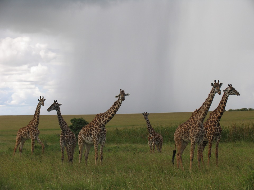 """Una """"torre"""" de jirafas"""