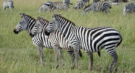 Cebras en Serengeti. Por Elena