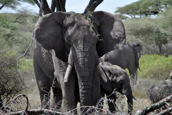Los imponentes elefantes. Por Gemma