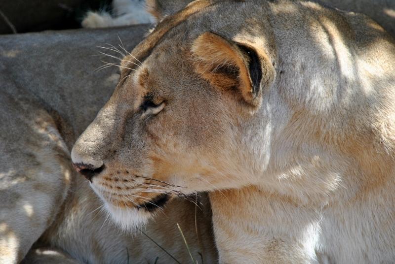 La reina de Serengeti. Por Gema