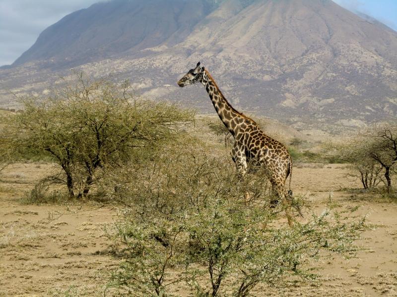 Una jirafa caminado frente al volcan Ol Doinyo Lengai. Por Roberto