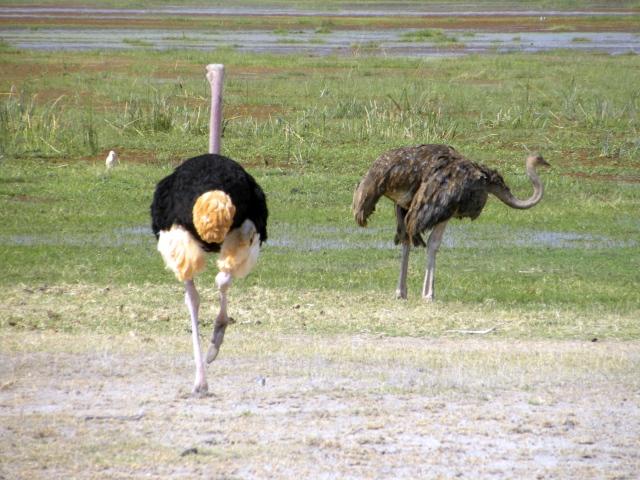Avestruces en Amboseli. Por Cristina