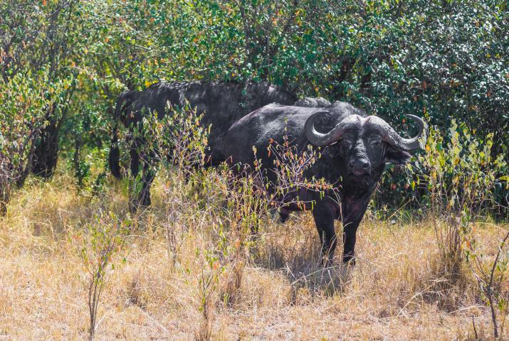 Búfalo en Masai Mara. Por Cristina