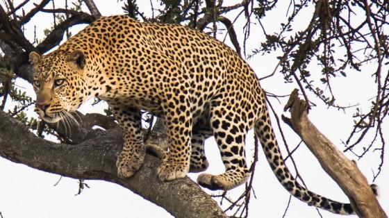 Leopardo. Por Cristina