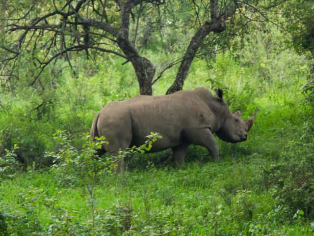 Rinoceronte blanco. Por Cristina
