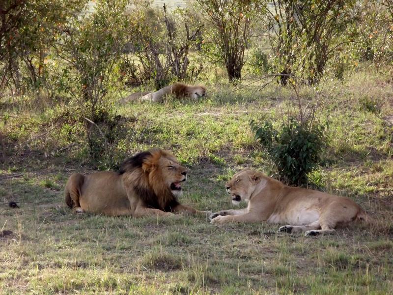 El descanso de los mayores depredadores terrestres. Por Paula