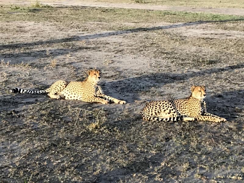 Elegantes guepardos. Por Guille