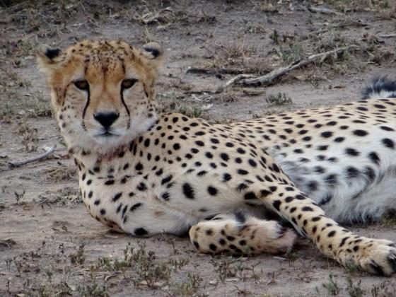 La elegancia del guepardo. Por Marta