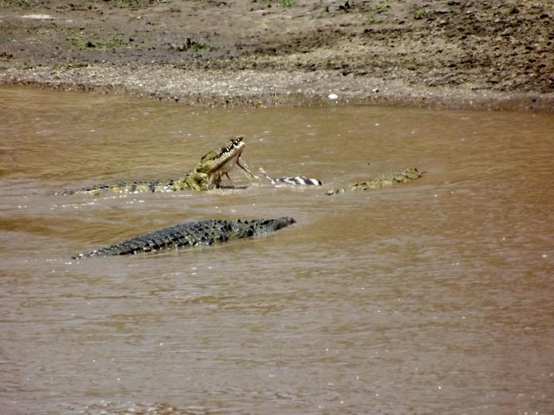 El cocodrilo y su presa recién capturada. Por Paula