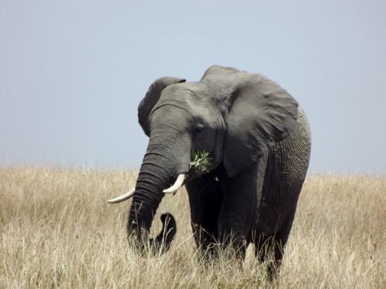Elefante comiendo en Masai Mara. Por Paula