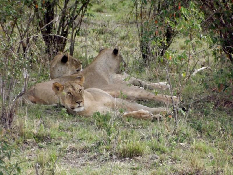 Grupo de leonas descansando. Por Paula