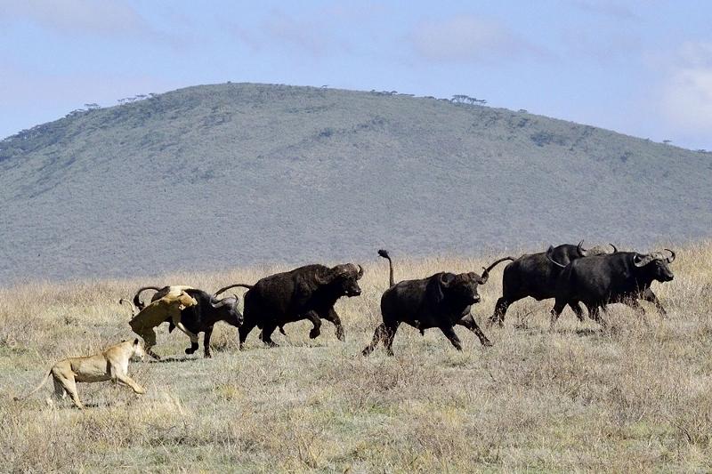 Cacería en Ngorongoro II. Por Daniel