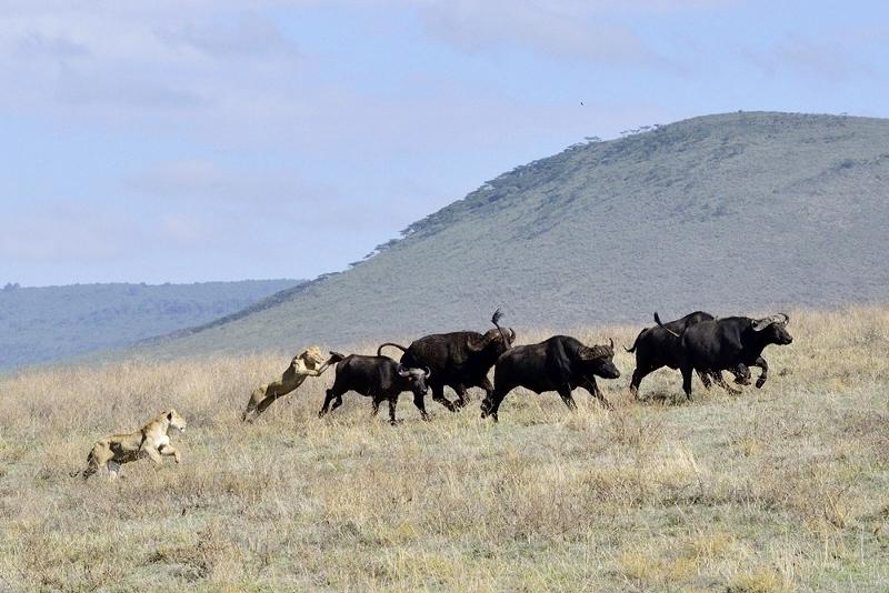 Cacería en Ngorongoro I. Por Daniel